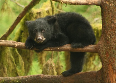 black bear cub, Anan Creek, AK